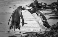 eric_lippey_angry penguins_1