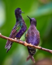 Credit_Jim_Millar_Hummingbirds_2_1