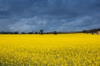 Credit_joslyn_davis_yellow_field
