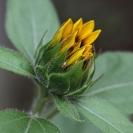 Anna Pha  Sunflower Bud