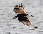 Kerry Boytell  Bald Eagle in Flight
