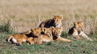 Chris Chau  Lion Cubs credit