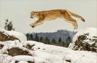 Kerry  Boytell  Mountain  Lion  Leap - Merit