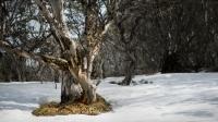 Lino Caccavo Spring Snow Gum
