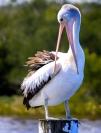 Phil Kerrigan Pelican
