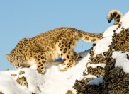 Eric Lippey Snow Leopard Credit