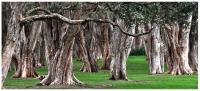 Jochen Hess Centenial Park Trees