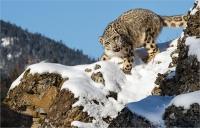 Kerry Boytell Snow Leopard