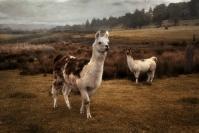 Ralph Hilmer  Oregonian Llamas