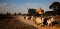 Kerry Boytell  Bagan Bullock Carts