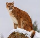 Kerry Boytell  Mountain Lion Thinking
