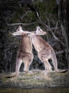 Michael Hing  Fighting Kangaroos