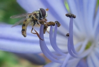 Anna Pha Blue  Hoverfly