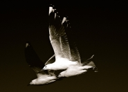 Peter West Seagull Credit