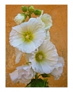 Rosslyn Duncan White Hollyhocks