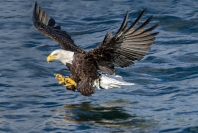 Bald_Eagle_Fishing_2_Kerry_Boytell