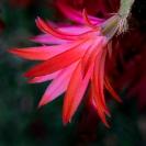 Cactus_Flower2