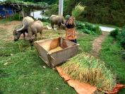 tim_collisbird_Tiring_hours_Rice_harvesting