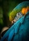 Merit_jim_wilson_resting_macaw_1