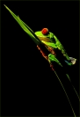 Credit_Kerry_Boytell_Red_Eyed_Tree_Frog_at_Night