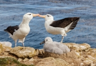 Boytell_Albatross_Admiration