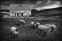 Credit_Glen_Parker_Palouse_Sheep_1