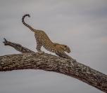 patricia_beal_tarangiri Leopard Stretching