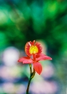 John_Griffiths_red orchid-1