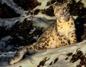 eric_lippey_montana_leopard