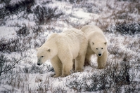 Merit_jim_wilson_polar_bear_cubs_1
