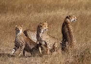 Michael_Hing_Cheetah_Family1