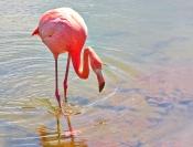 Merit_Jim_Millar_Galapagos_flamingo_1