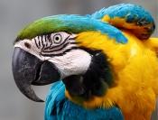 Jim_Millar_Macaw_Ecuador_1