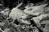 Gregory_lake_daintree_crocodile_1