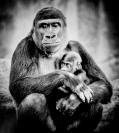 Les_Atkins_Gorillas_1