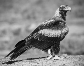 Les_Atkins_Wedge_Tail_Eagle_1