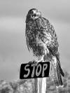 Jim_Millar_Galapagos_hawk_says_stop_1