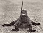 Merit_Jim_Millar_Happy_Iguana_1