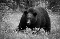 Merit_jim_wilson_black_bear_1