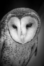 jim_wilson_masked_owl