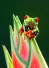 Boytell_Gaudy_Leaf_Frog_on_Heliconia