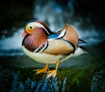 Les_Atkins_Mandarin_Duck_1