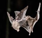 Merit_eric_lippey_fruit-bats