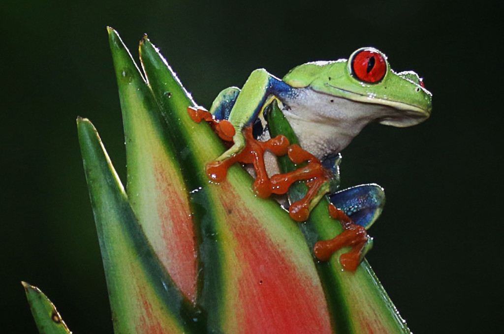 Colour Print of the Night, Eric Lippey BluejeanTree Frog