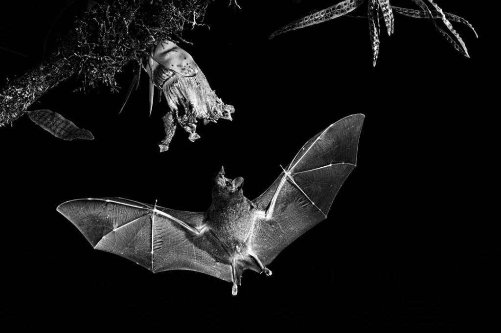 Merit_&_Mono_of _the_Night_kerry_boytell_Bat print_1