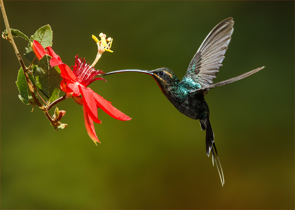 Online_Kerry_Boytell_Hummingbird_at Passionfruit_Flower