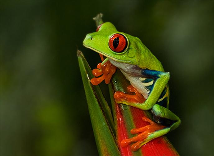 eric_lippey_treefrog