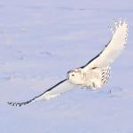 kerry snowy owl with catch