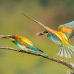 kerry Bee Eater pair with food
