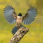 Azure winged magpie landing